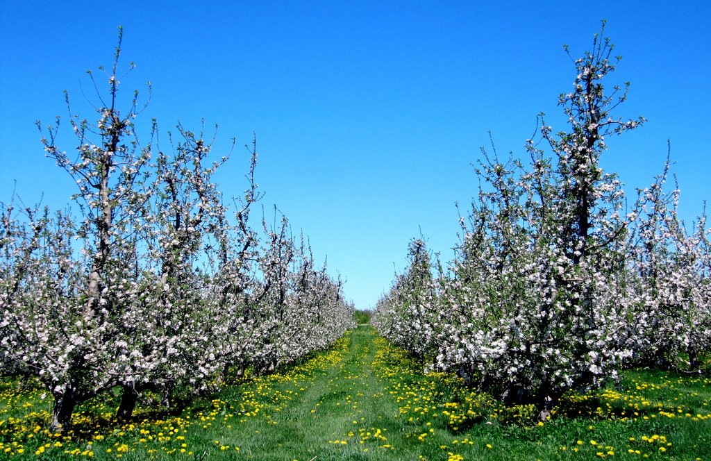 Image: Rows of Fruit Trees by rkramer62, license: CC-BY 2.0
