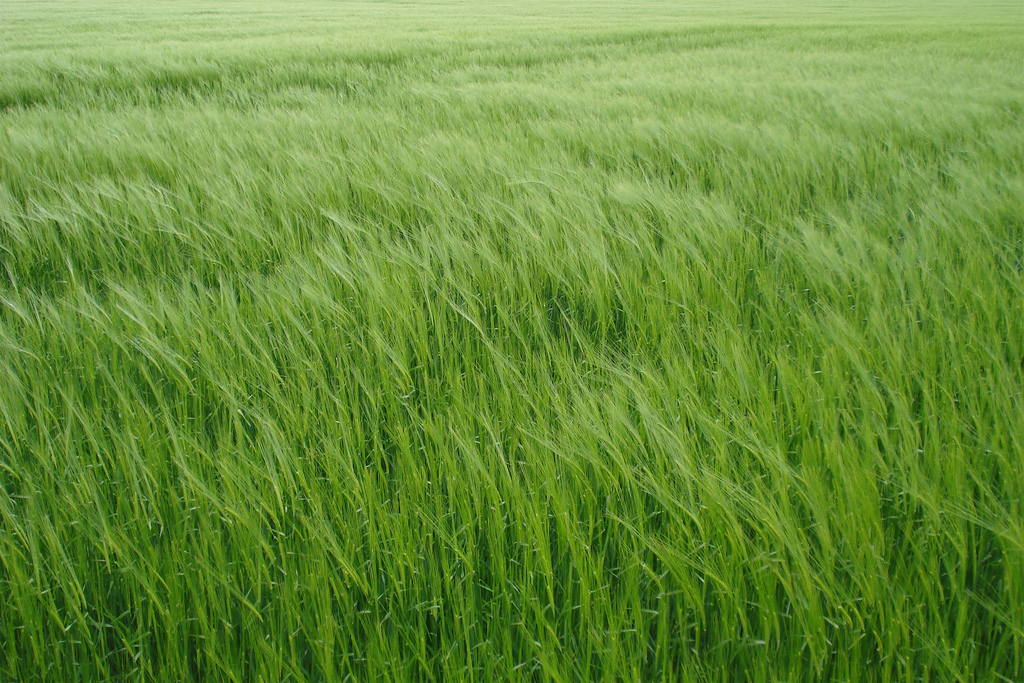 Image: Barley Field by net_efekt (License: CC-BY 2.0)