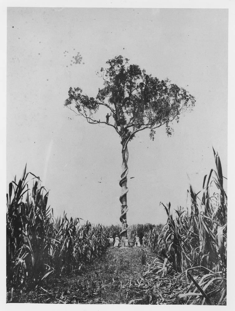 Large fig tree and native vine growing in the middle of sugar cane in the Logan district, Queensland,1870 (Watson & Co.)