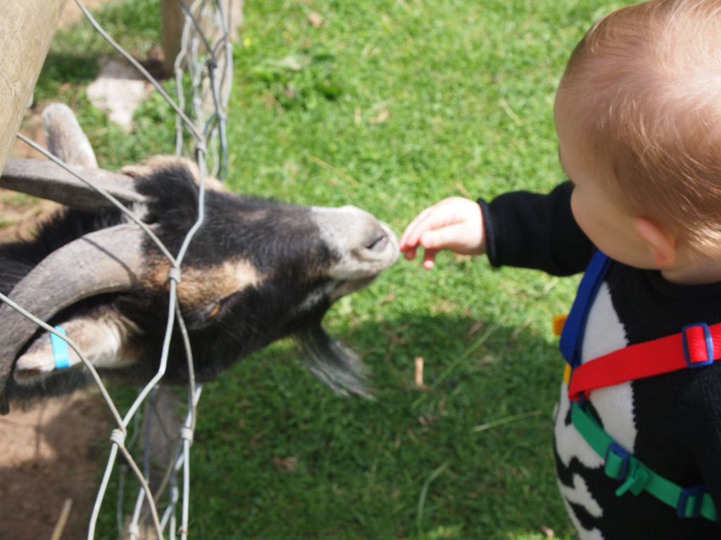 """Feeding the Goat at Ark Animal Sanctuary, Twyford, Evesham"" (credit:  Fimb, license: CC-BY 2.0)"