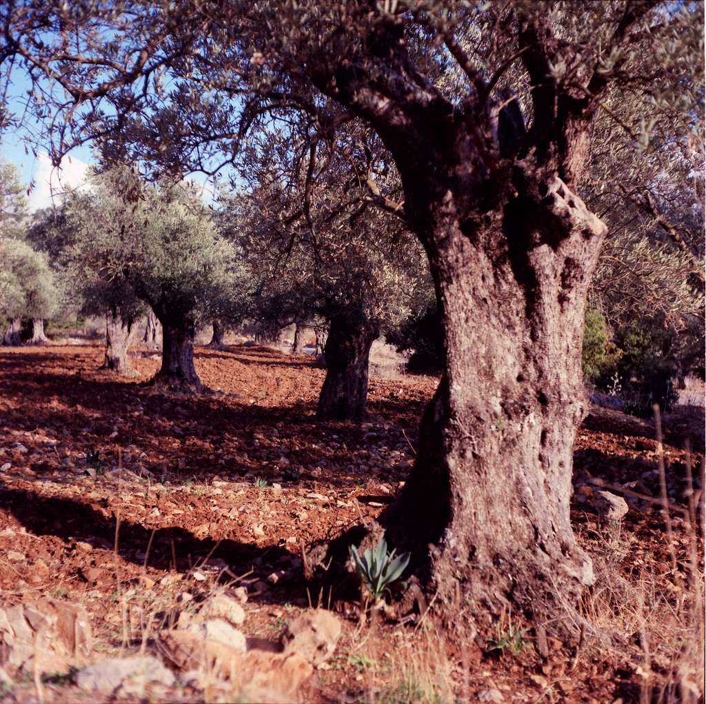 Image: Olive trees near Mount Hermon by Joost J. Bakker (License: CC-BY 2.0)