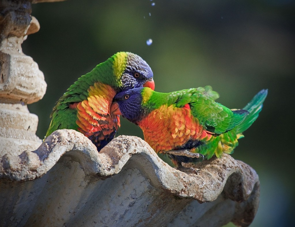 """Rainbow Lorikeets in the Cemetery (credit: dicktay2000, license: CC BY 2.0)"