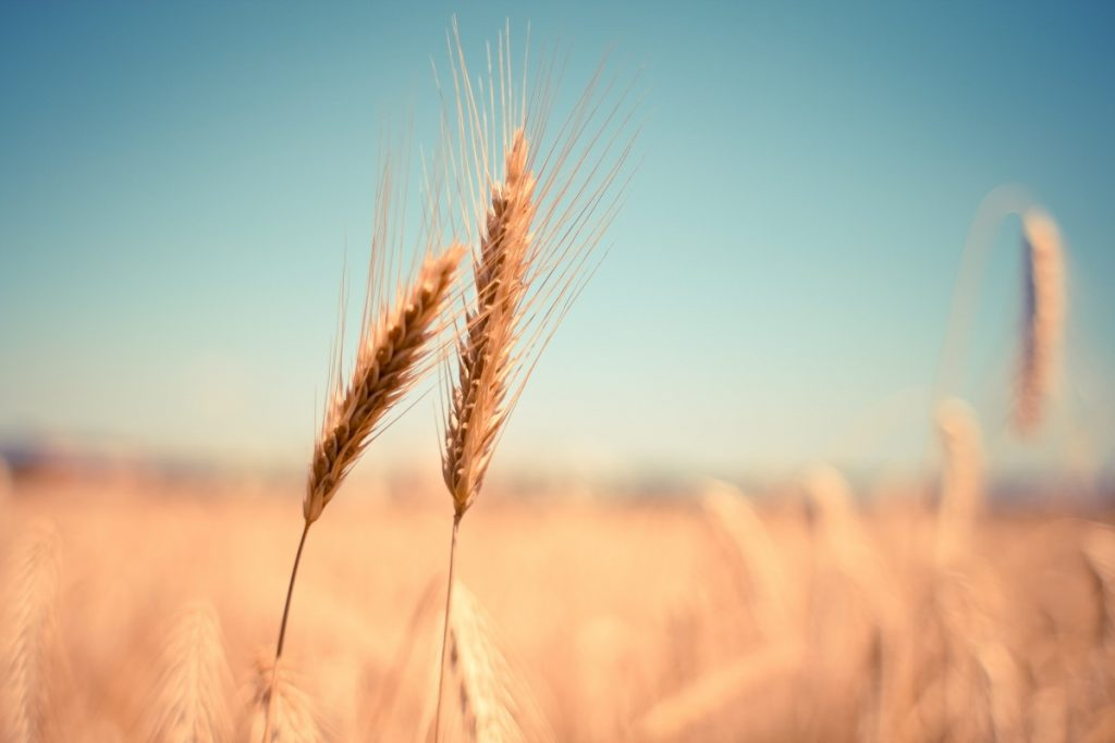 """Wheat, ear, dry, harvest, autumn"" (credit: pxhere, license: CC0)"