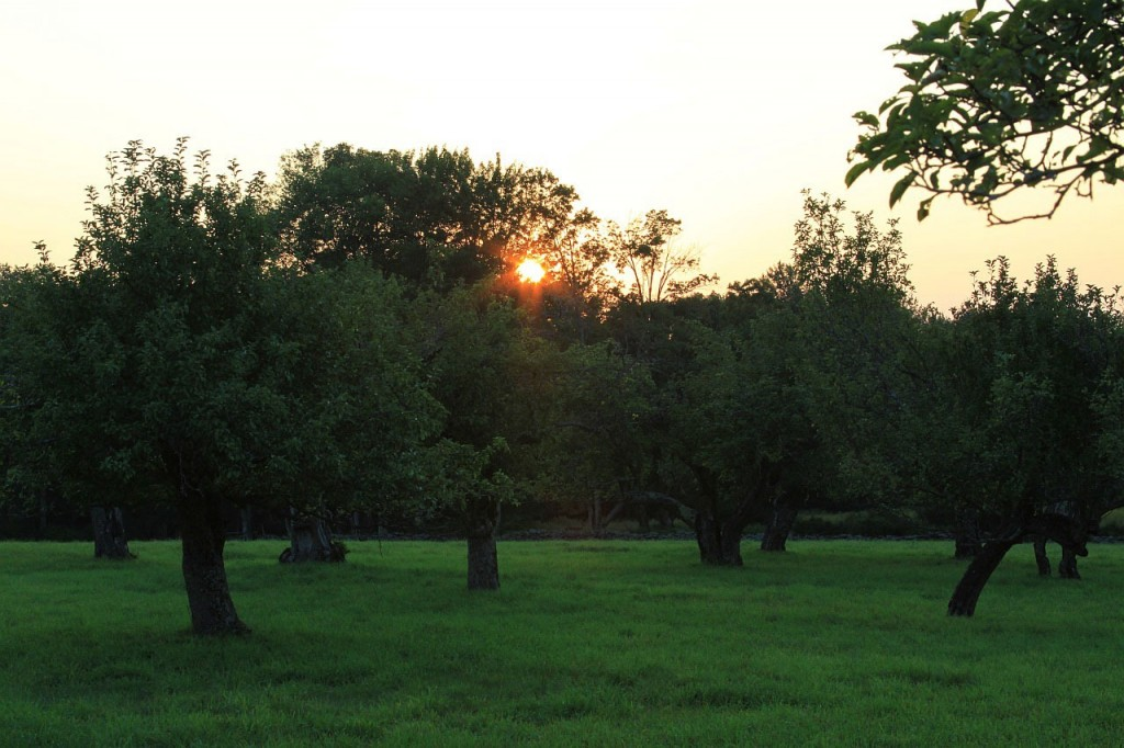 """""""Orchard at Sunset"""" (credit: """"Public Domain Pictures"""", license CC0)"""
