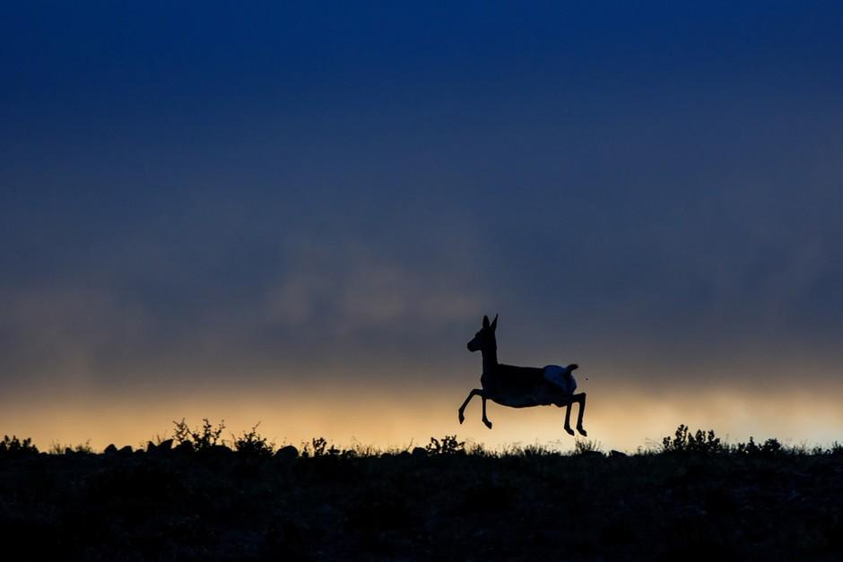 """跳跃的藏原羚"" (Tibetan Gazelle Leaping). A Tibetan gazelle gallops at dawn in Ngari Prefecture, Tibet. (credit: 程斌 (Bain Cheng), People's Republic of China Government Nature Photographer, PD?)."