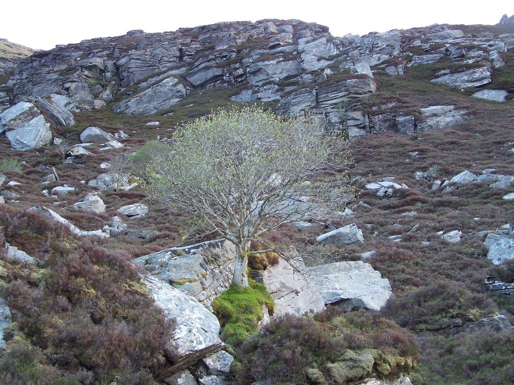 Precariously growing tree in rock cleft, above Loch Coire na Saidhe Duibhe on NE flank of Ben Hee. (credit: Nick Lindsay, license CC BY-SA)