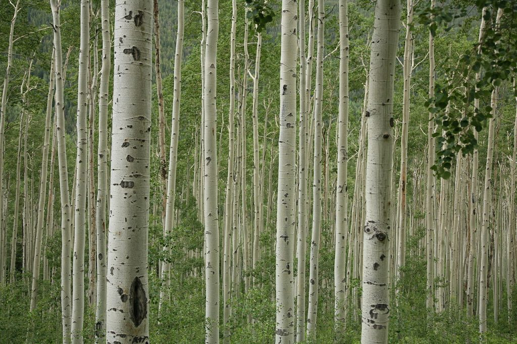 """Aspen trees near Aspen, Colorado"" (credit: Daniel Schwen, license: CC BY-SA)"
