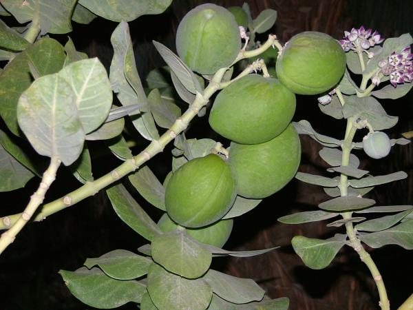Fruits of Calotropis procera in Ein Gedi, on the south-western coast of the Dead Sea. (credit: חדוה שנדרוביץ, license: CC BY)