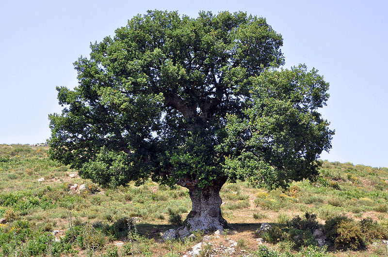 An oak tree in Israel. Visit the Israeli Oak Registry.