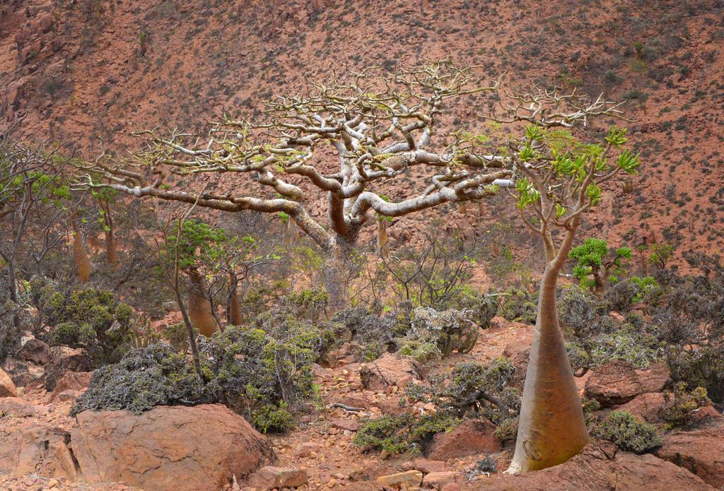 Frankincense Tree, Socotra Island Yemen (Rod Waddington, CC BY-SA)