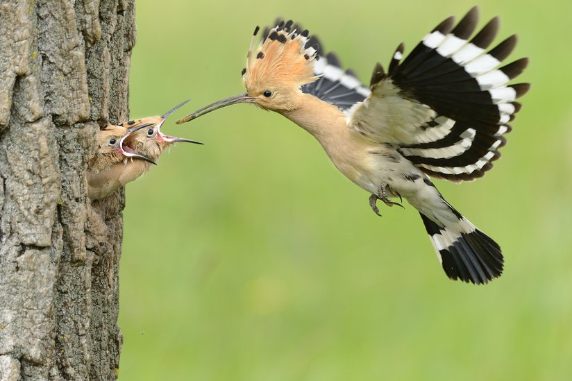 Young hoopoe chicks peek their heads out of their tree nest to get a snack from papa bird. (Photo: Bildagentur Zoonar GmbH/Shutterstock)