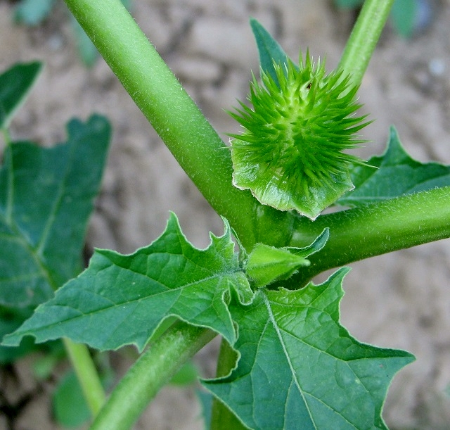 """Thornapple (Datura stramonium) (credit: Evelyn Simak, license: CC BY-SA). This plant is believed to originate from Mexico and is a close relative of some of the most notorious poisonous plants such as deadly nightshade and black henbane. In Great Britain, it is apparently only occasionally found, mainly in the south of England and generally in rich, waste ground. It is also sometimes grown in private gardens as an ornamental plant and is documented to have been cultivated in London towards the end of the 16th century. The plant is also known as jimsonweed or Devil's snare.