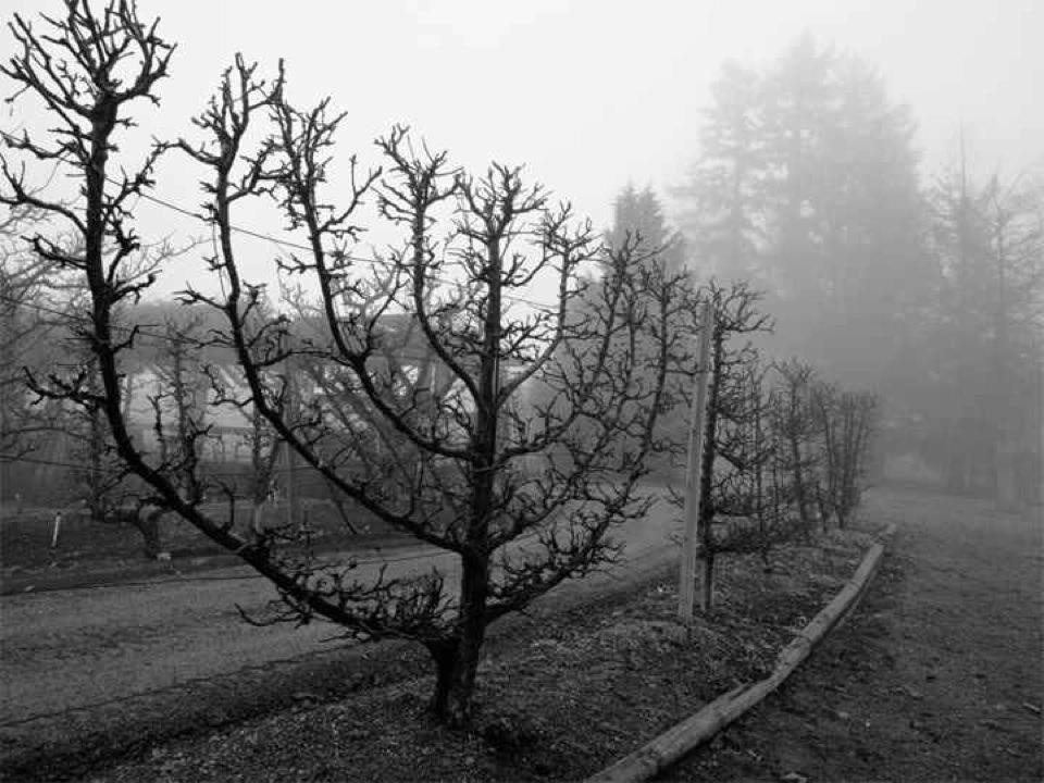 espaliered fruit tree ḥanukkiah