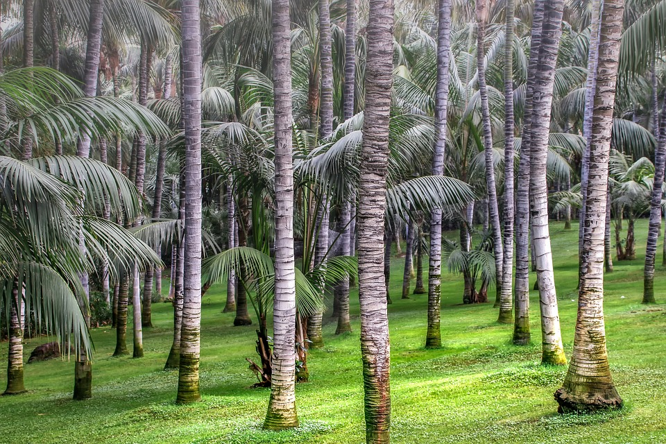 """Palm Trees Nature Forest Plant Tropical Tribe"" (credit: angolicus, license: CC0)"