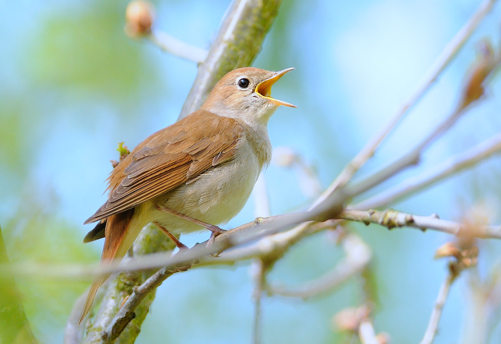 Nightingale (credit: Kev Chapman, license: CC BY)