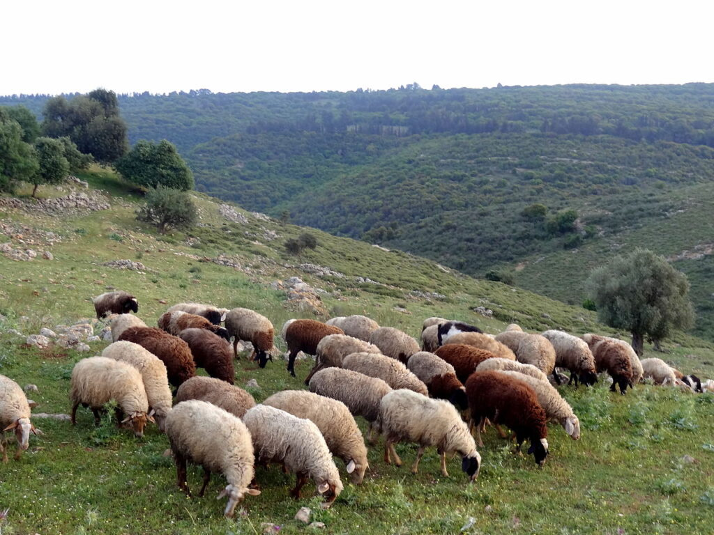 Sheep grazing in Tel Yodfat  (credit: Noa Steine, license: CC BY)