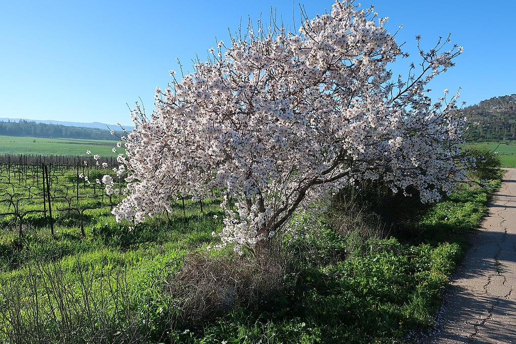 Almond tree growing in the Elah valley, near Neve Michael (credit: Davidbena, license: CC BY-SA)