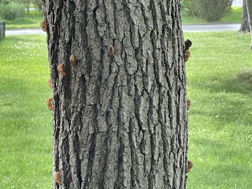 cicada tree 2021 (Isaac Gantwek Mayer CC BY-SA)